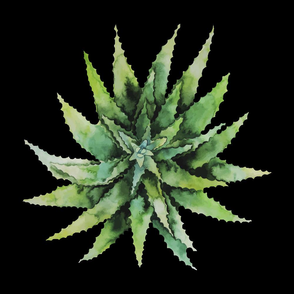 aloe-vera-growth-1